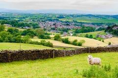Inglês que pasta carneiros no campo Imagens de Stock
