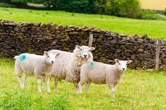 Inglês que pasta carneiros no campo Foto de Stock