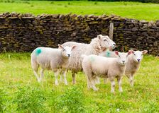 Inglês que pasta carneiros no campo Foto de Stock Royalty Free