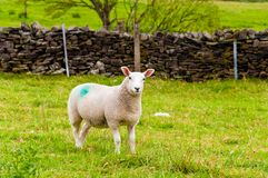 Inglês que pasta carneiros no campo Imagem de Stock Royalty Free