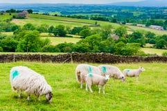 Inglês que pasta carneiros no campo Fotos de Stock Royalty Free