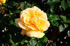 Inglês Rosa Imagens de Stock