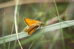 inglaterra yorkshire Julio de 2010 Pequeña mariposa del capitán, sylvestris de Thymelicus Fotos de archivo libres de regalías