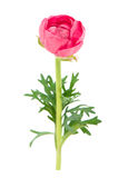 Ingle flower pink ranunculus on white Stock Images