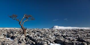 Panorama. Knarled Baum, der herüber zu Ingleborough schaut Stockbilder