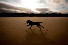Inglese Staffordshire Terrier di Brown della siluetta Fotografia Stock Libera da Diritti