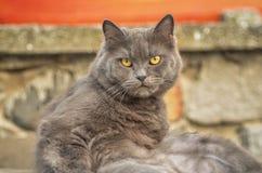 Ingleses Cat Laying em Sun Imagem de Stock