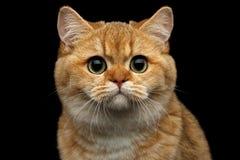 Ingleses peludos produzem o gato no fundo preto isolado Fotos de Stock