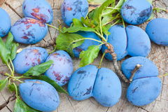 Inglorious plums. Freshly collected malformed plums from the garden Stock Image