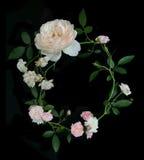 Inglês Rosa Fotos de Stock Royalty Free