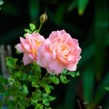 Inglês Rosa Foto de Stock Royalty Free