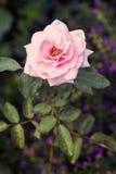 Inglês Rosa Imagem de Stock Royalty Free