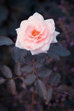 Inglês Rosa Imagens de Stock Royalty Free