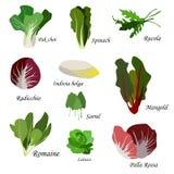 Ingrédients de salade Icônes de légumes feuillus réglées Illustration organique et végétarienne avec PAK choi, épinards, Rucola Photos libres de droits