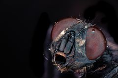 Ingrandimento della mosca 5x immagine stock