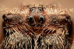 Ingrandimento estremo - il ragno osserva, vista frontale Immagini Stock