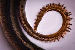 Ingrandimento estremo - proboscide della farfalla sotto il microscopio fotografie stock