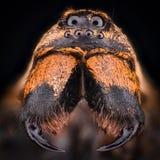 Ingrandimento estremo - Wolf Spider, Lycosidae Fotografie Stock