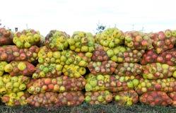 Ingrani le borse delle mele di recente selezionate per l'industria del succo sul primo mattino Immagine Stock Libera da Diritti
