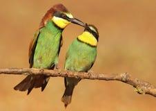 Ingrassamento di Bee-eater Immagini Stock