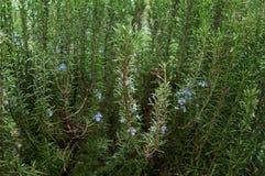 Ingrediente do aroma da especiaria dos alecrins Imagens de Stock