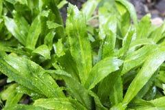 Ingrediente verde del culantro para cocinar Fotos de archivo libres de regalías