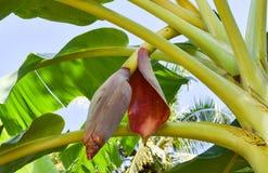 Ingredientes da flor da banana do alimento tailandês, Tom Yum Hua Plee fotografia de stock