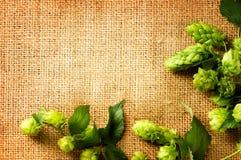 Ingredienti per fare birra Luppolo fresco sulla fine della tela da imballaggio su Fotografia Stock