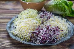 Ingredients for healthy salad. Raw fresh young organic sprouts o. Raw fresh young organic sprouts of leek, alfalfa, red reddish mixed on tin board Royalty Free Stock Photo