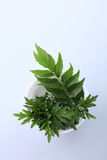 Ingredients. Mugwort Herbal and curry leaves Royalty Free Stock Image