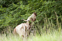 Inguni krowy łasowania liście Obraz Royalty Free