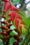 Ingwer-Blüte an einem botanischen Garten Stockfotos