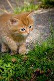 Ingwer-Kätzchen Lizenzfreie Stockbilder