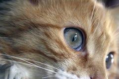 Ingwer-Katze Lizenzfreie Stockfotos