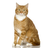 Ingwer-Katzekätzchen (4 Jahre) Stockfotografie