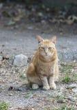 Ingwer-Katzenstraße des Porträts sitzende von Toskana Lizenzfreies Stockbild