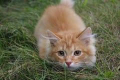 Ingwer Sweetykatze auf dem Gras Lizenzfreie Stockfotos