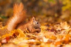 Ingwereichhörnchen mit Nuss Stockfoto