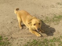Ingwerhund Lizenzfreies Stockfoto