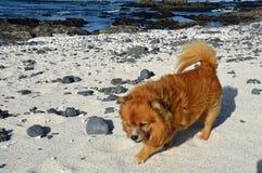 Ingwerhund auf dem Strand stockfoto