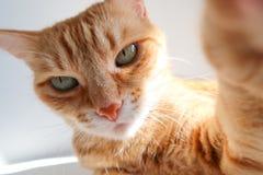 Ingwerkatze, die einen selfie Schuss nimmt und ernsthaft schaut Nette Katze mit gr?nen Augen stockbilder