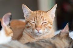 Ingwerkatzenabschluß mustert und schlafend mit anderen Katzen Stockfoto