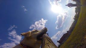 Inhaber und sein Haustier, die draußen an der Natur im Sommer spielen Hunderasse Labrador oder golden retriever, das mit läuft stock video footage
