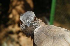 Inhambu, brazylijski ptak Zdjęcie Stock