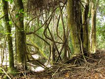 Inheems bos van het Nationale Park van Tsitsikamma, Zuid-Afrika Royalty-vrije Stock Afbeelding