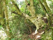 Inheems bos van het Nationale Park van Tsitsikamma, Zuid-Afrika Stock Afbeeldingen