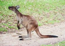 Inheemse Australische kangoeroe Stock Foto's