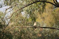 Inheemse Australische Kookaburra's in een bos van gumtrees stock afbeeldingen