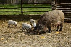 Inheemse binnenlandse varkens genoemd Mangulica met varkens Royalty-vrije Stock Afbeelding