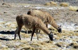 Inheemse dieren, (guanacos) weidend in de bergen Royalty-vrije Stock Foto's